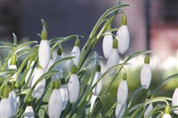 Snowdrops at Anglesey Abbey
